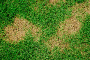 How to treat brown patch fungus in Apopka and Sanford FL - Heron Home & Outdoor