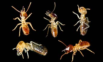 Learn the different types of termites from Heron Pest Control in Central FL