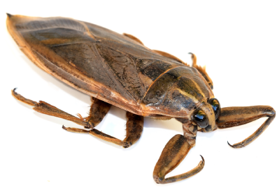 Water bug in Central Florida - Heron Home & Outdoor